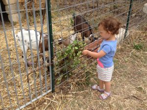 feeding Molly,Dolly and Polly the tibetan goats