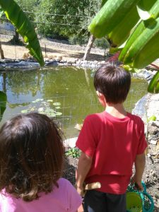looking at the fish swimming in our pond